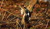 Great Spotted Woodpecker female 6
