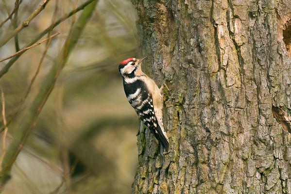 Bird Photos: Woodpeckers, Nuthatch and Treecreepers