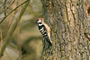 Lesser Spotted Woodpecker male 2