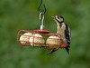 Great Spotted Woodpecker juv 1