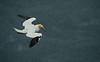 Gannet 1 Shetland April 2013