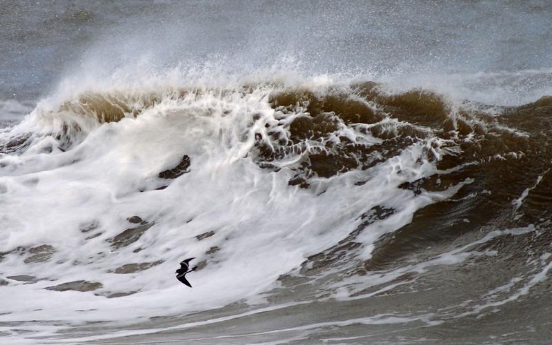 Leach's Storm-petrel 5, River Mersey