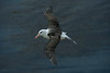 Black-browed Albatross 2