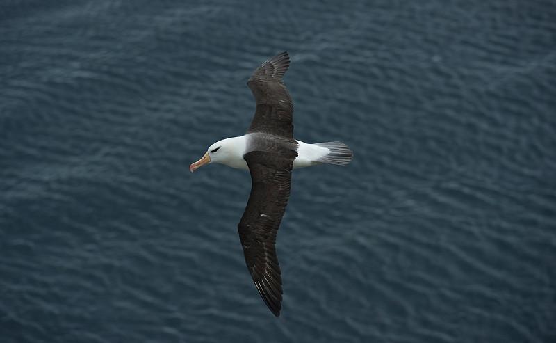 Black-browed Albatross 1