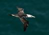Gannet 6 Shetland