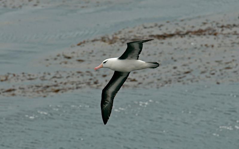 Black-browed Albatross 7