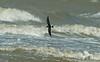 Leach's Storm-petrel 3, River Mersey