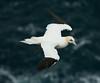 Gannet 3 Shetland April 2013