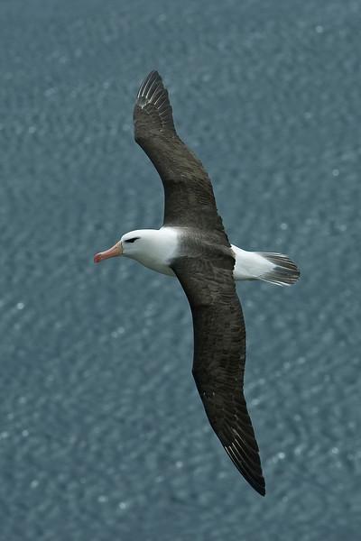Black-browed Albatross 4