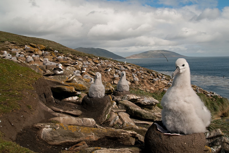 Black-browed Albatross colony