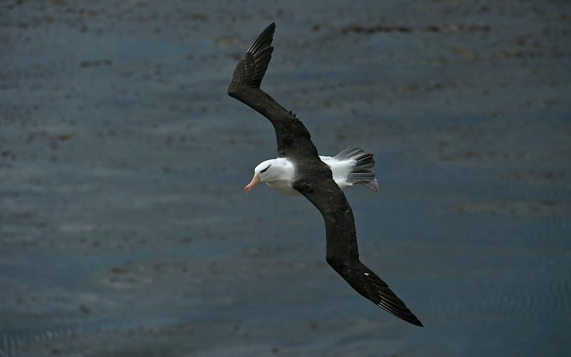 Black-browed Albatross 6
