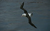 Black-browed Albatross 6