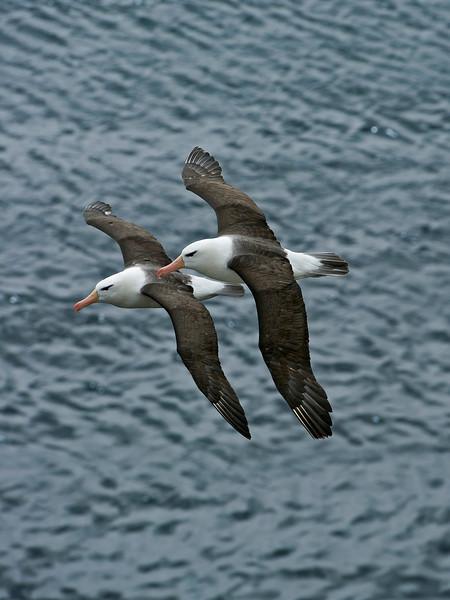 Black-browed Albatross 5