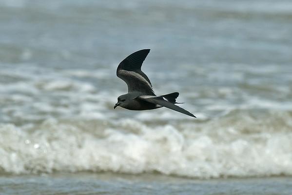Bird Photos: Albatrosses, Gannet, Petrels, Skuas and Shearwaters