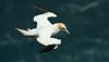 Gannet 5 Shetland April 2013