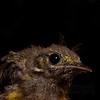 Juvenile Hooded Warbler