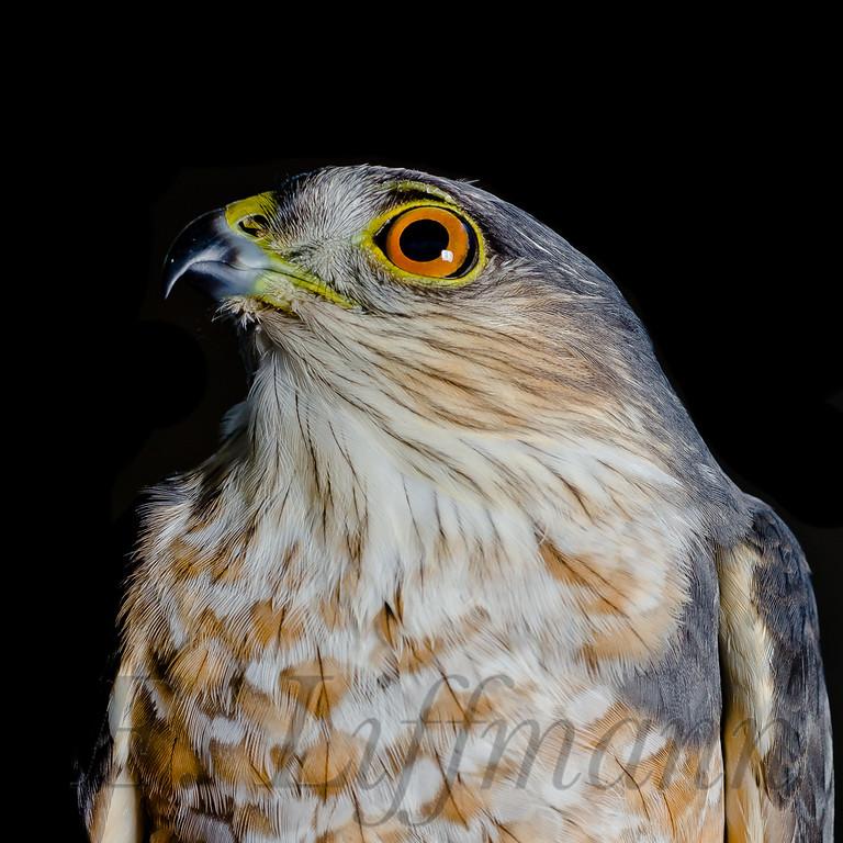 https://ericliffmann.smugmug.com/Other/Bird-Portraits/i-Hk2ZdMc/0/XL/DSC3490-XL.jpg