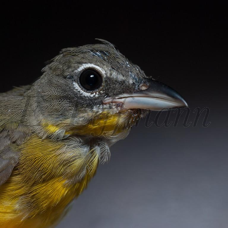 http://ericliffmann.smugmug.com/Other/Bird-Portraits/i-RLKtnP4/5/XL/DSC8386-XL.jpg