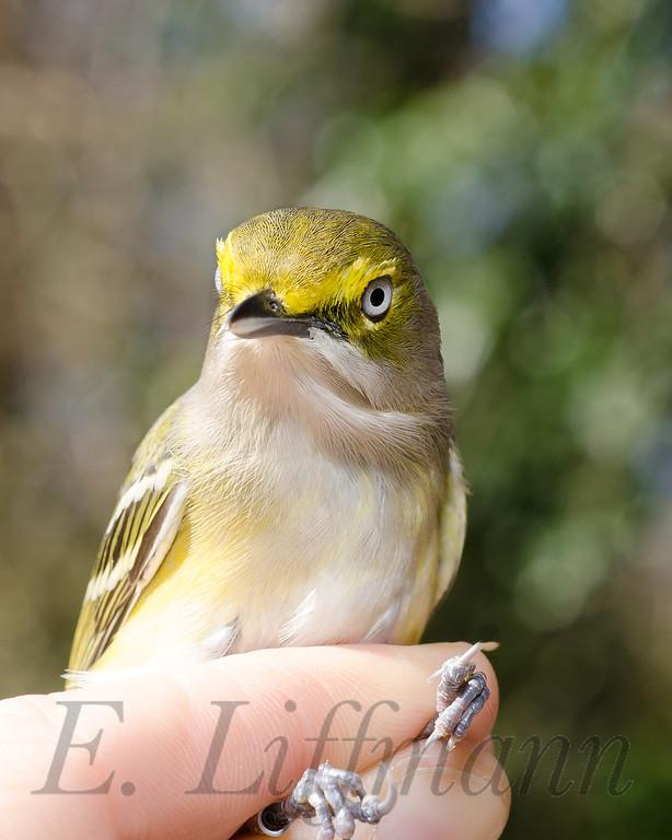 http://ericliffmann.smugmug.com/Other/Bird-Portraits/i-hwMZBkS/0/XL/DSC_7226-XL.jpg