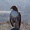 Our resident Red tail Hawk