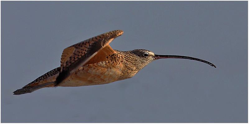 Flying Long Bill Curlew  (C)_3379-
