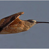 Flying Long Bill Curlew  (C)_3379-