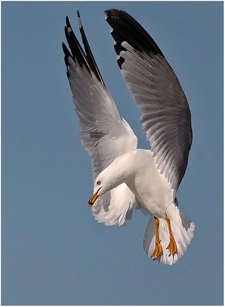 2-26-15- Gull Spotting Food