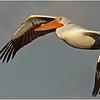 4-24-14- White Pelican_3445