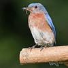 6-22-13- Blue Bird _6972