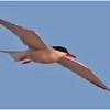 Tern Flying_0357
