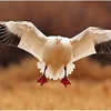 Snow Goose Coming in 1171 copy