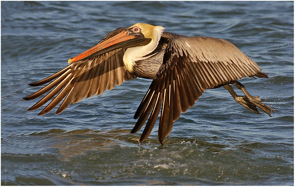 #17  -Pelican taking off-(9 but Droped)
