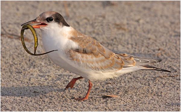 5-17-12-  Baby Tern wirh fish copy