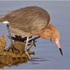 Reddish Egret Looking For Food _5421 copy