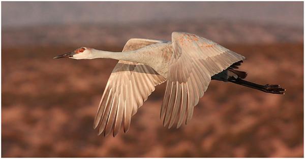 1-24-11 Sand Hill Crane in Flight-(7)