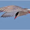 Tern Diving_0238