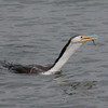 Pied Cormorant,The Broadwater
