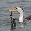 Pied Cormorant,The Broadwater.