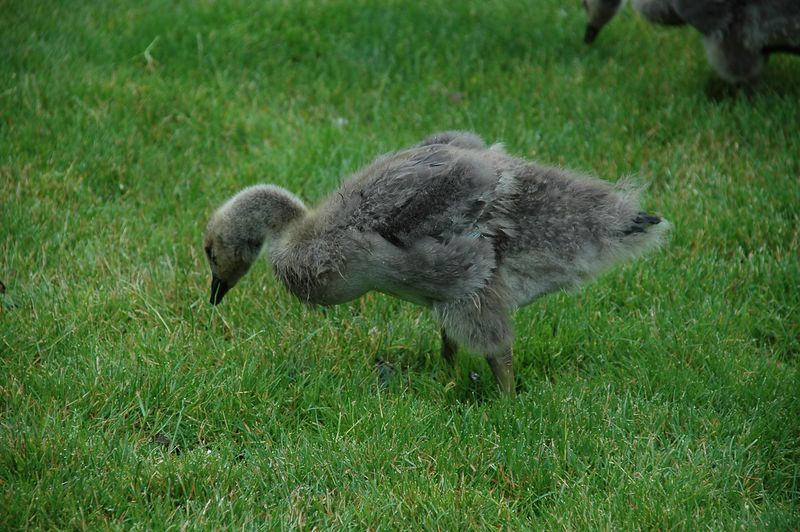 A Gosling - Beaverton, OR