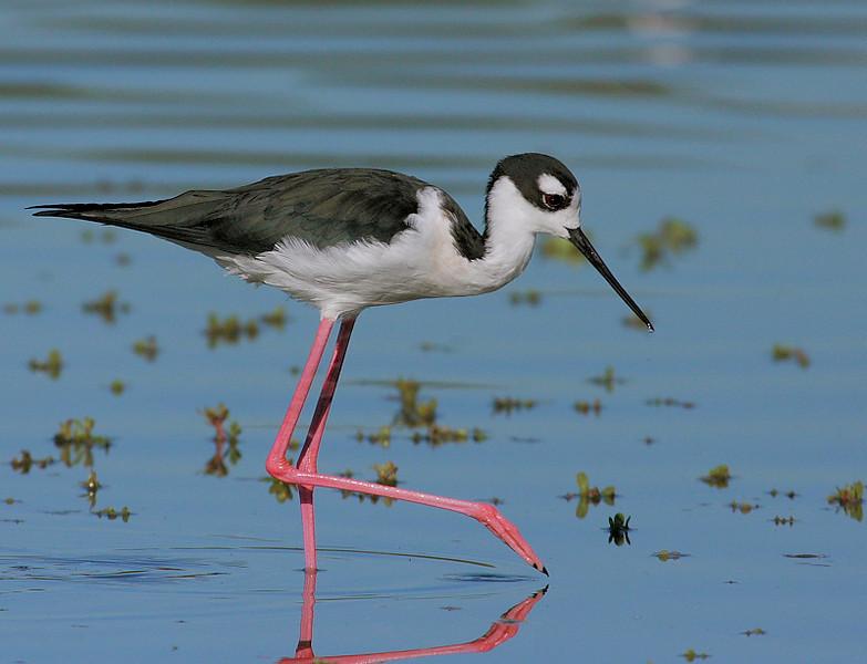 Black-necked Stilt, San Joaquin Wildlife Sanctuary, Oct 6 2008.