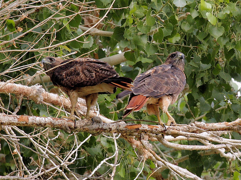 This Red-tail couple was scouting around for nesting construction materials in a tree at Covington Park across from Big Morongo Canyon Preserve, Big Morongo, CA, July 12 2008.