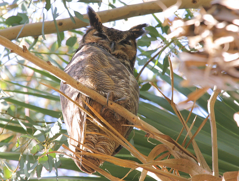 Great Horned Owl, Palos Verdes, March 1 2009.