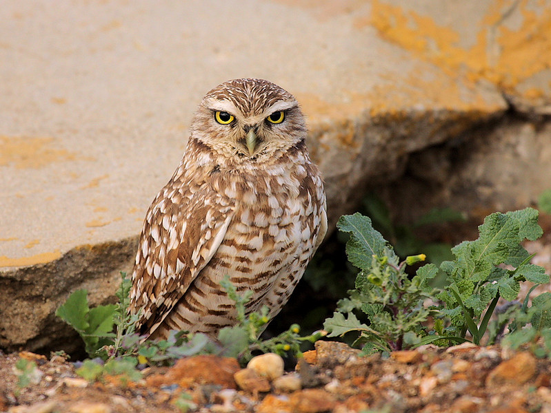 This Burrowing Owl (named Bernard by my friend David Ellsworth) was discovered about a mile from where I live in San Pedro. What a find!  January 24,2009.