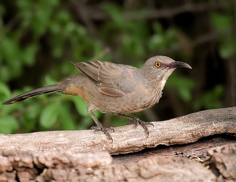 Curve-Billed Thrasher, Cave Creek Ranch, outside of Portal, Chiricahua Mtns, SE Arizona, Sept 11 2008.