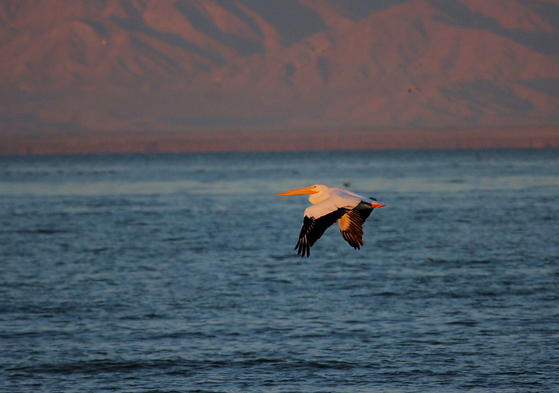 Sunrise with a White Pelican at the Salton Sea, Feb 20, 2009.