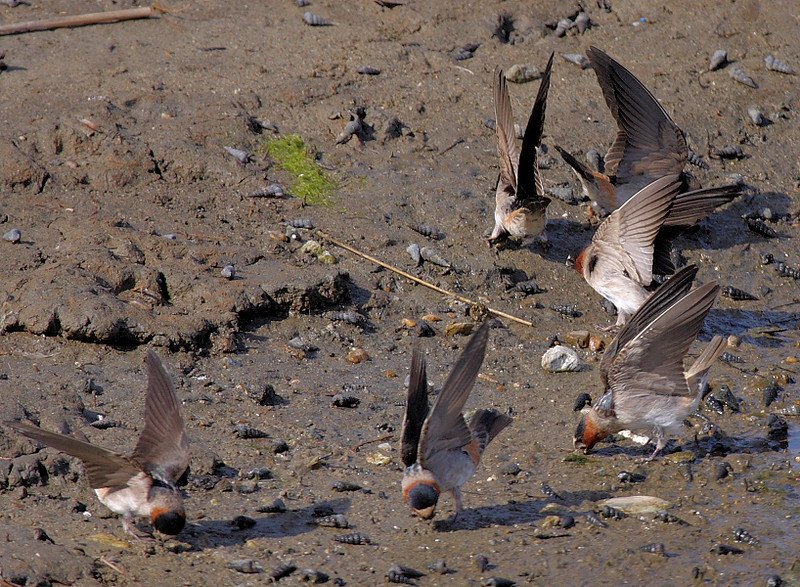 Barn Swallows busily picking up mud for building their nests, Bolsa Chica, April 27 2008.