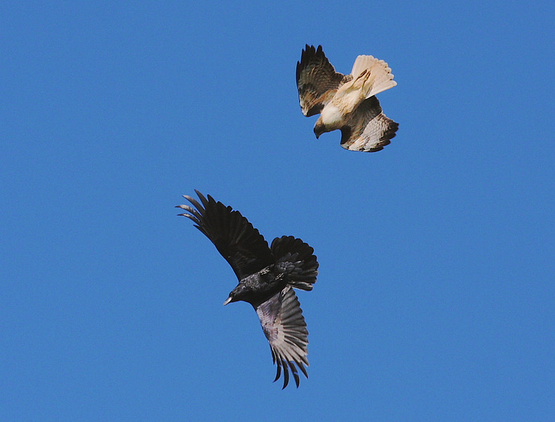 """A Red-tail has finally said, """"enough of the harrassment!"""" to a bothersome Crow. White Point Nature Preserve, San Pedro, CA, Jan 26 2009."""
