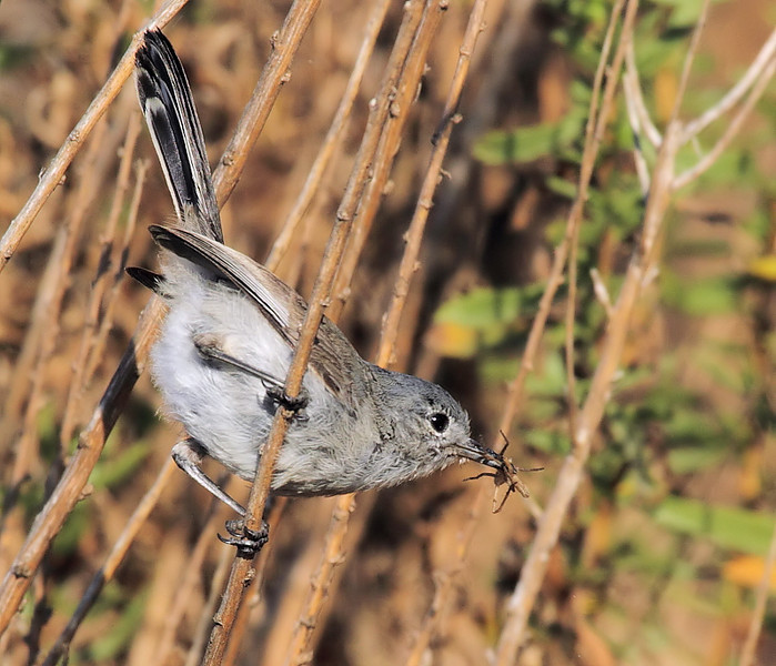 Another view of a California Gnatcatcher, Shoreline Park, Palos Verdes Peninsula, CA, August 22 2010.