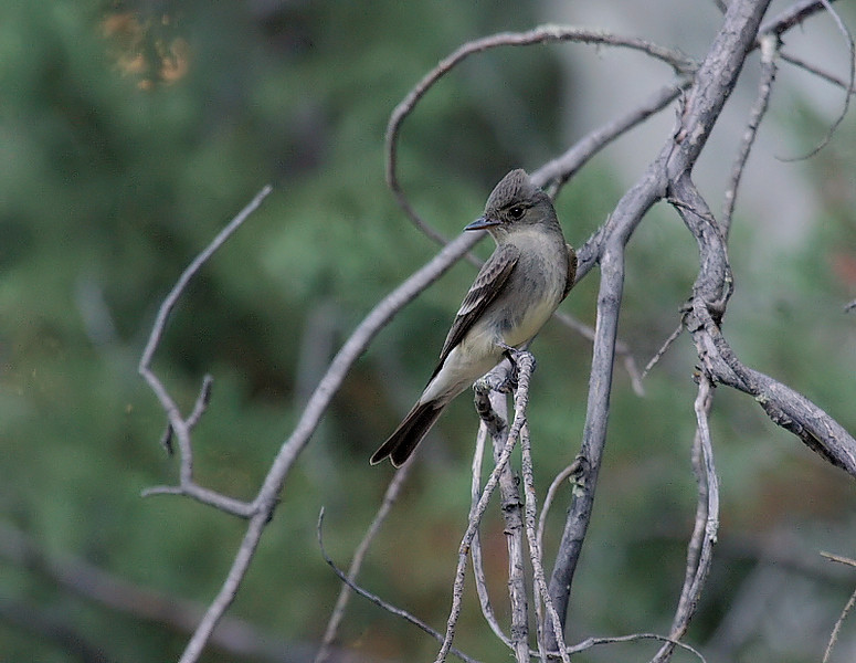 I BELIEVE this to be a Greater Pewee, but it may just be a Western Wood-Pewee. It certainly is in one of the few areas a Greater Pewee can be found, along Cave Creek Canyon in southeast Arizona's spectacular Chiricahua Mountains...