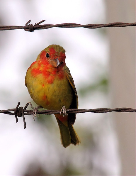 "A ""1st spring"" Summer Tanager, Ramon Gonzales Park, Compton, CA, March 24 2012."